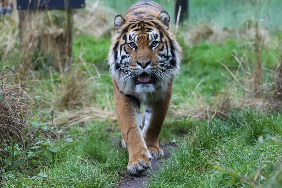 A Sumatran Tiger walks around the enclosure at London Zoo.