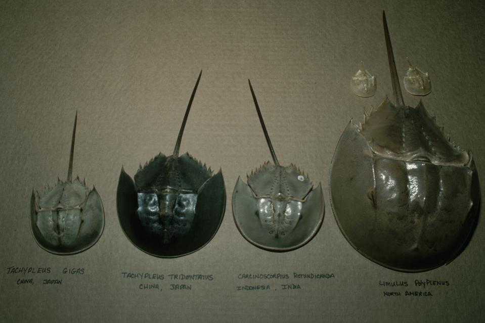 Four Species of Horseshoe Crab
