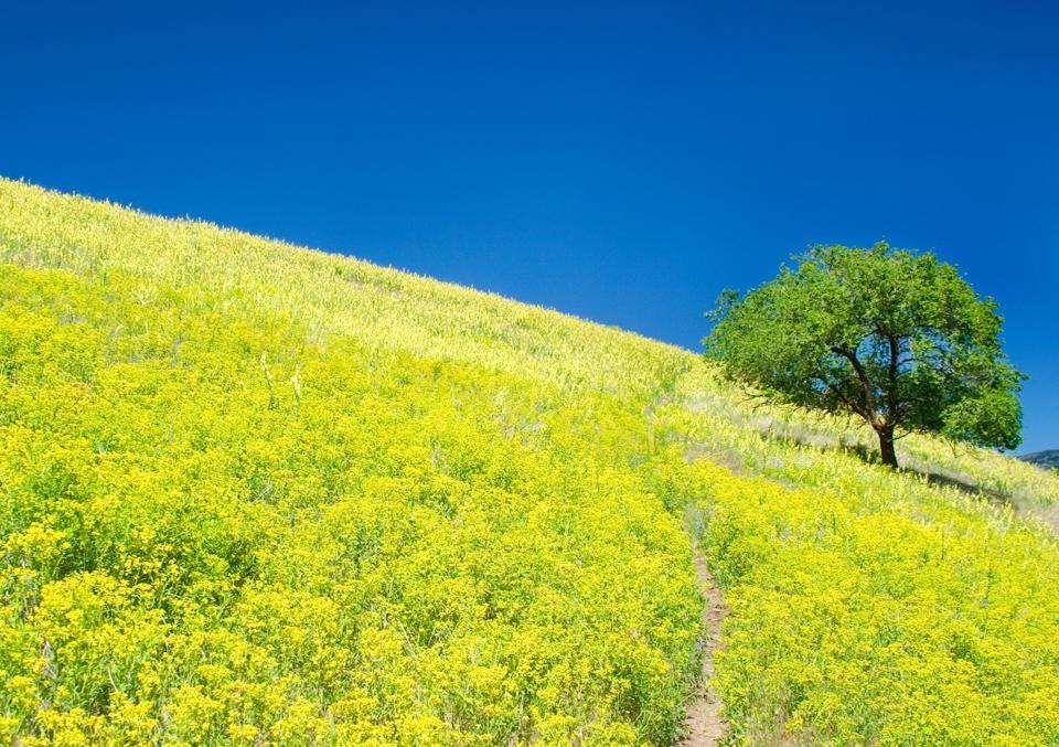 Lone Tree on Hill of Yellow Wildflowers