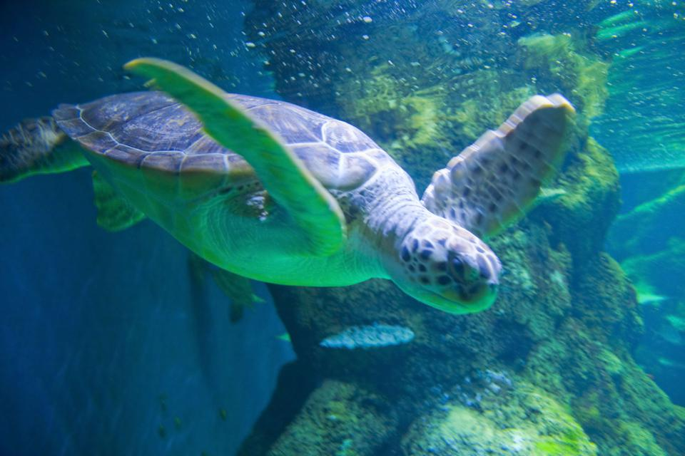 A turtle is seen swimming in London Aquarium