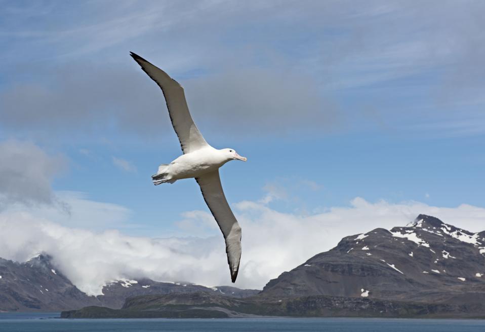 Wandering Albatross, Diomeda exulans, on Albatross Island in Bay of Isles South Georgia