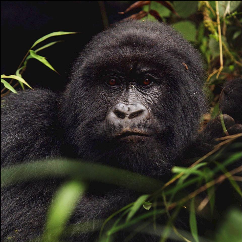 20 years after the death of Dian Fossey, Rwanda Gorillas live in peace.