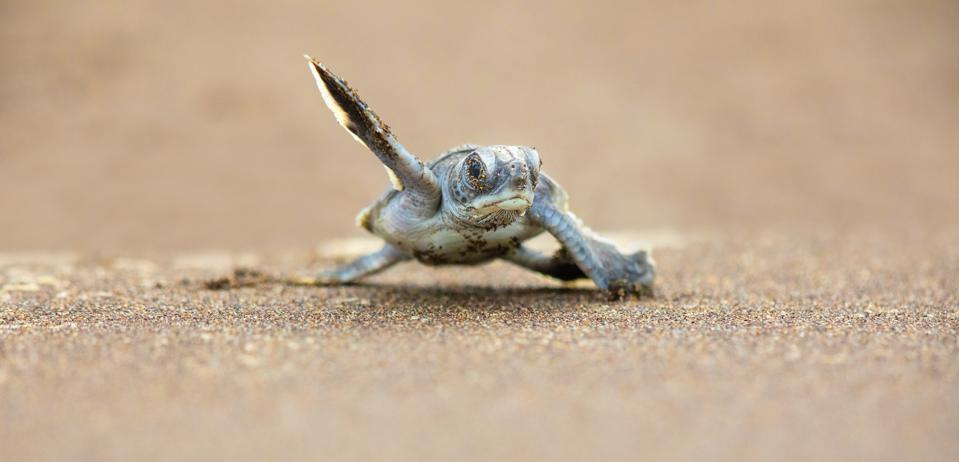 A baby green sea turtle scurries across the beach to get to the safety of the ocean