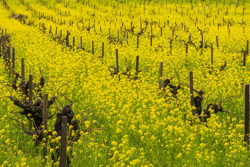 Field of wild mustard in bloom at a vineyard in the spring, Sonoma Valley, California