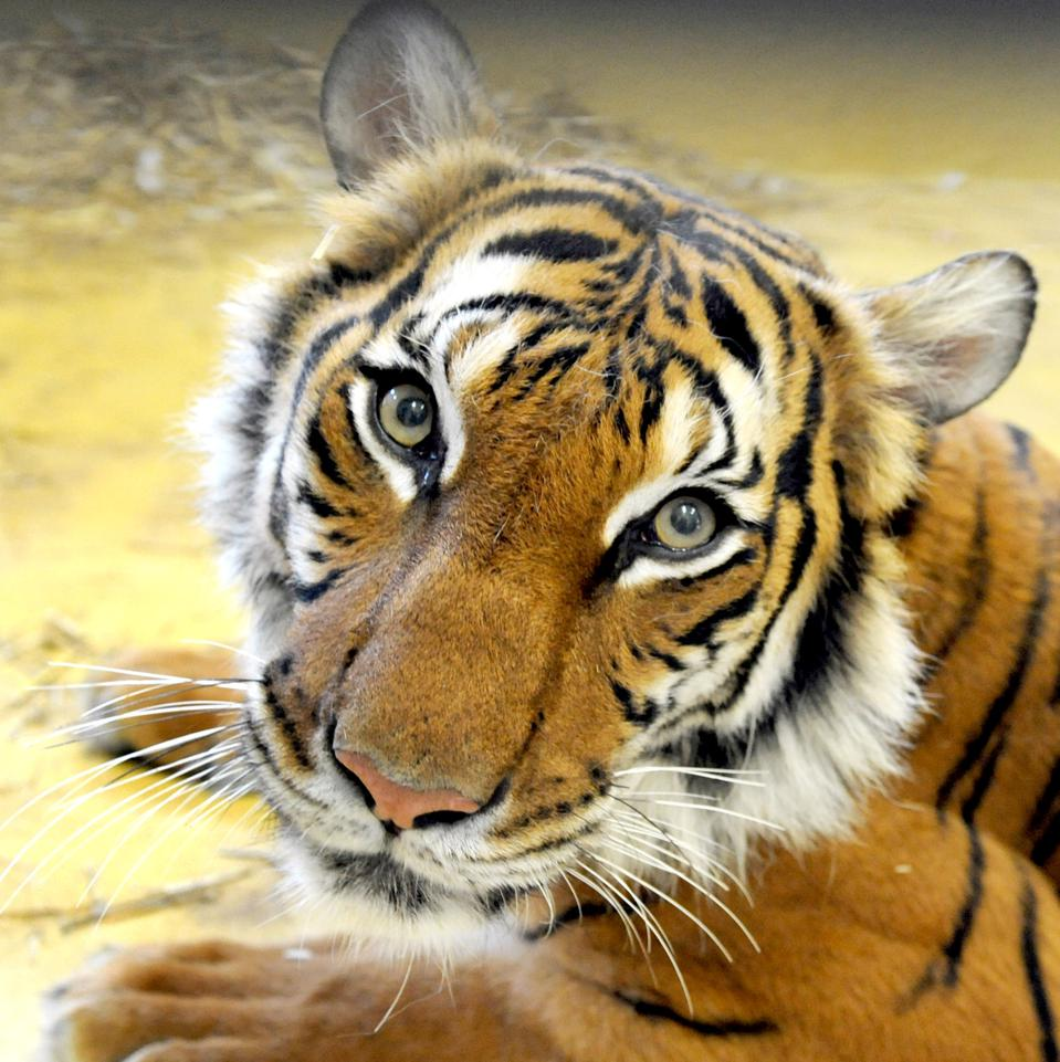 Eight-years old tiger ″Girl″ lays at her