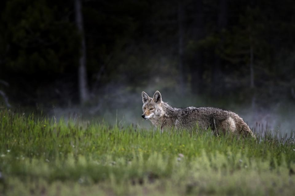 Gray wolf in the mists of Yellowstone