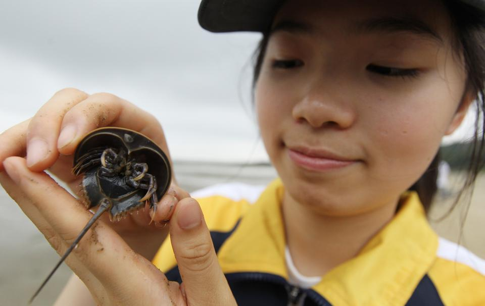 Eunice Chan shows an electronic chipped horseshoe crab as they release over 100 horseshoe crabs to their native habitat as part of Hong Kong's first juvenile horseshoe crab rearing programme launched by Ocean Park Conservation Foundation (OPCF). Pictured