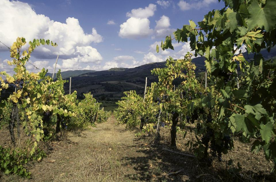Vineyard near Ama, Gaiole in Chianti, Tuscany