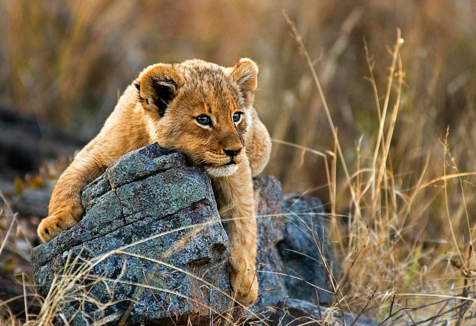A lion cub lies on a boulder, draping its front legs over the rock, looking away, yellow golden coat
