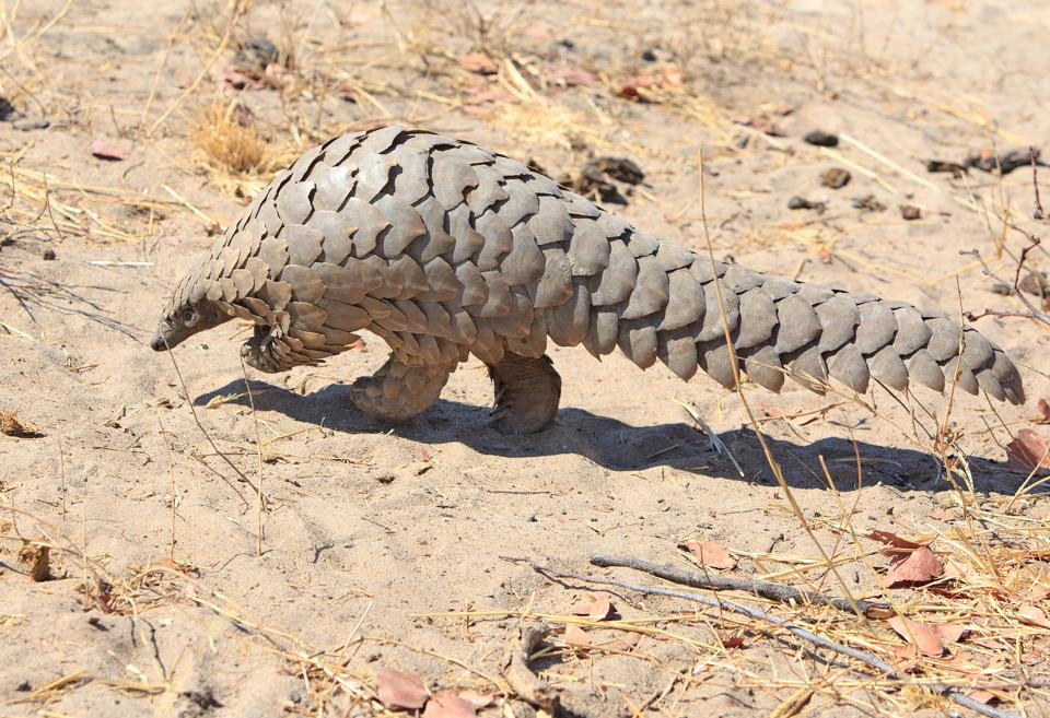Lucky sighting of a wild Pangolin spotted on a walking safari in Hwange National Park, Zimbabwe