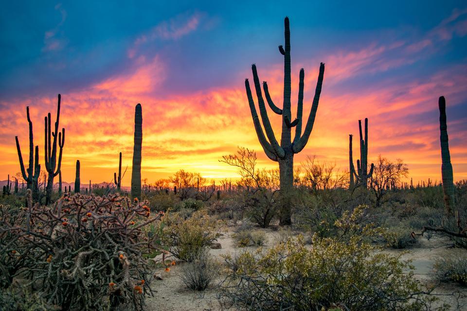 Massive Saguaros in Sonoran Desert at Sunset