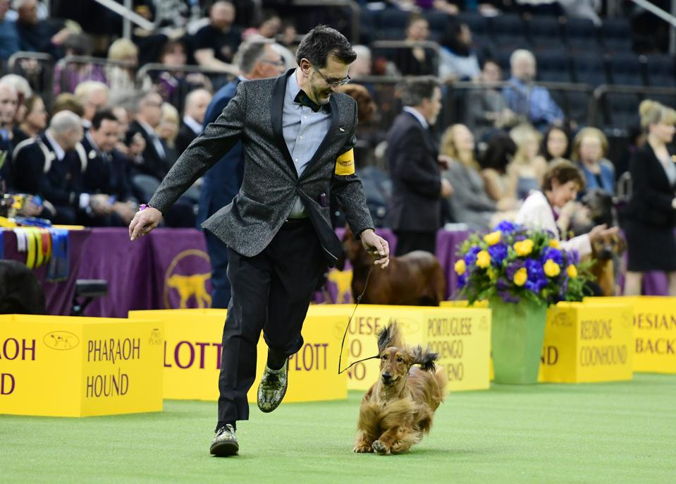 Westminster Dog Show 2019: King The Wire Fox Terrier Wins