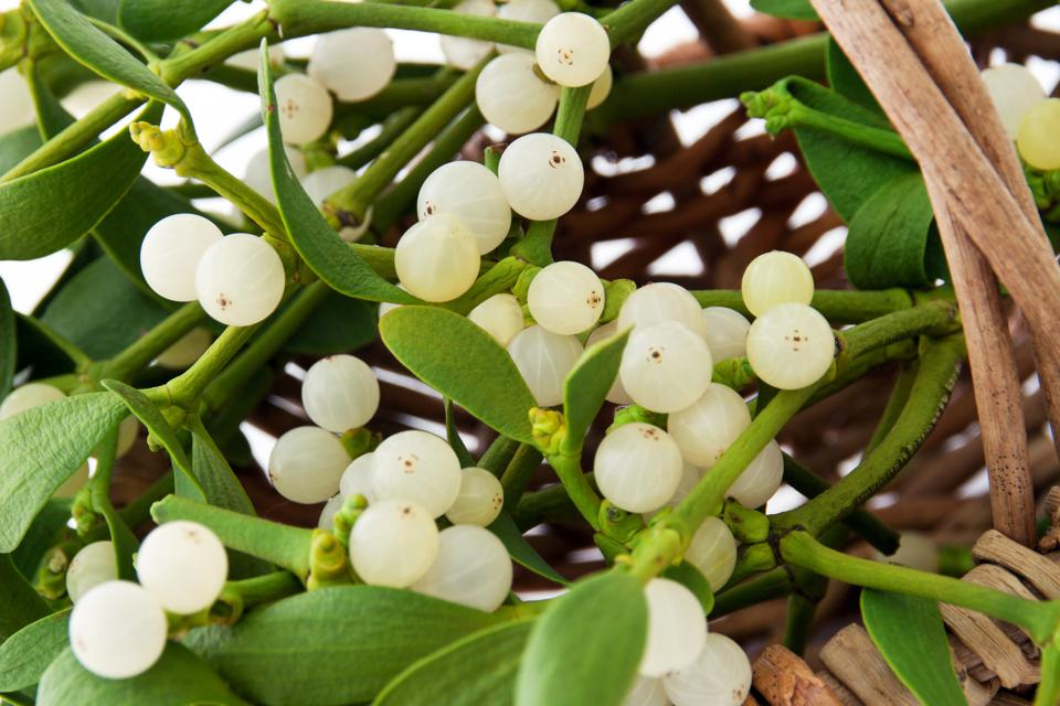 Mistletoe is toxic enough to make this your last Christmas.