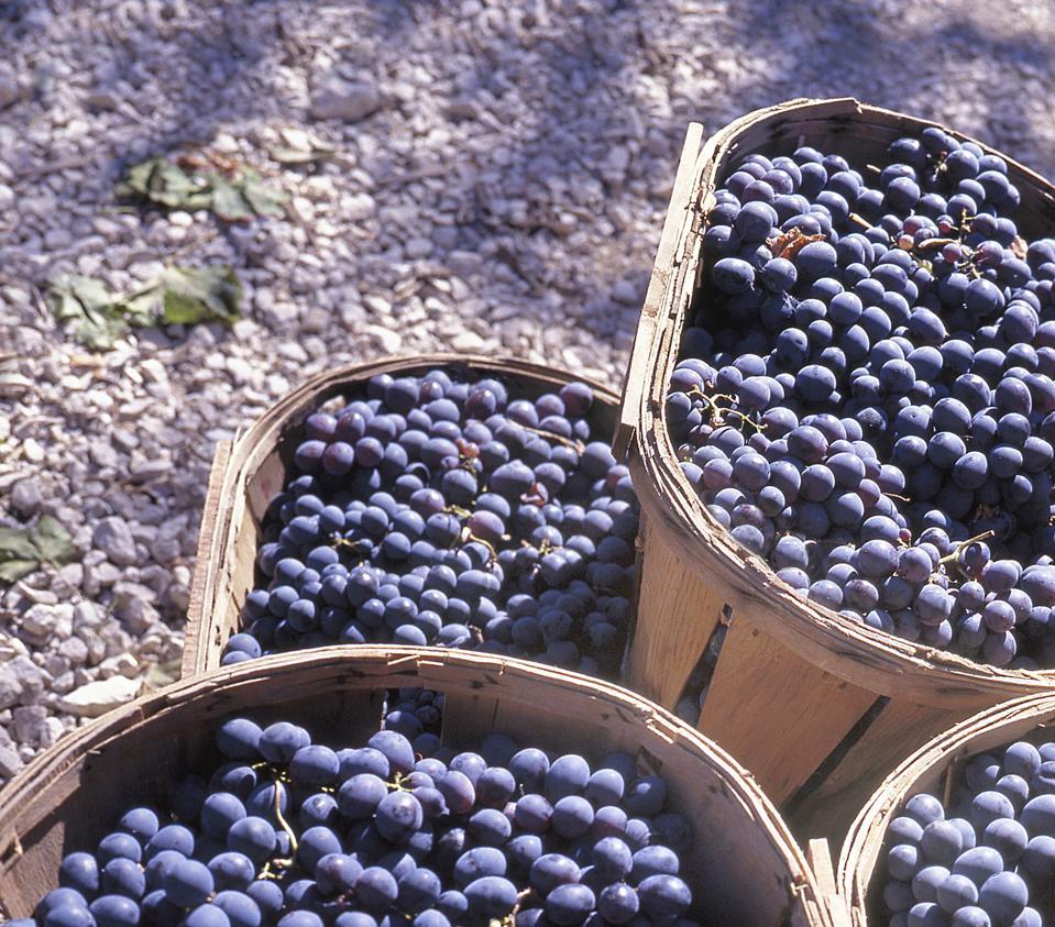 Grapes in Saint Emilion, Bordeaux, France