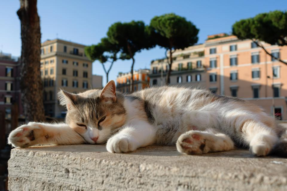 Calico shelter cat sleeping outdoors at Largo di Torre Argentina, Rome, Italy