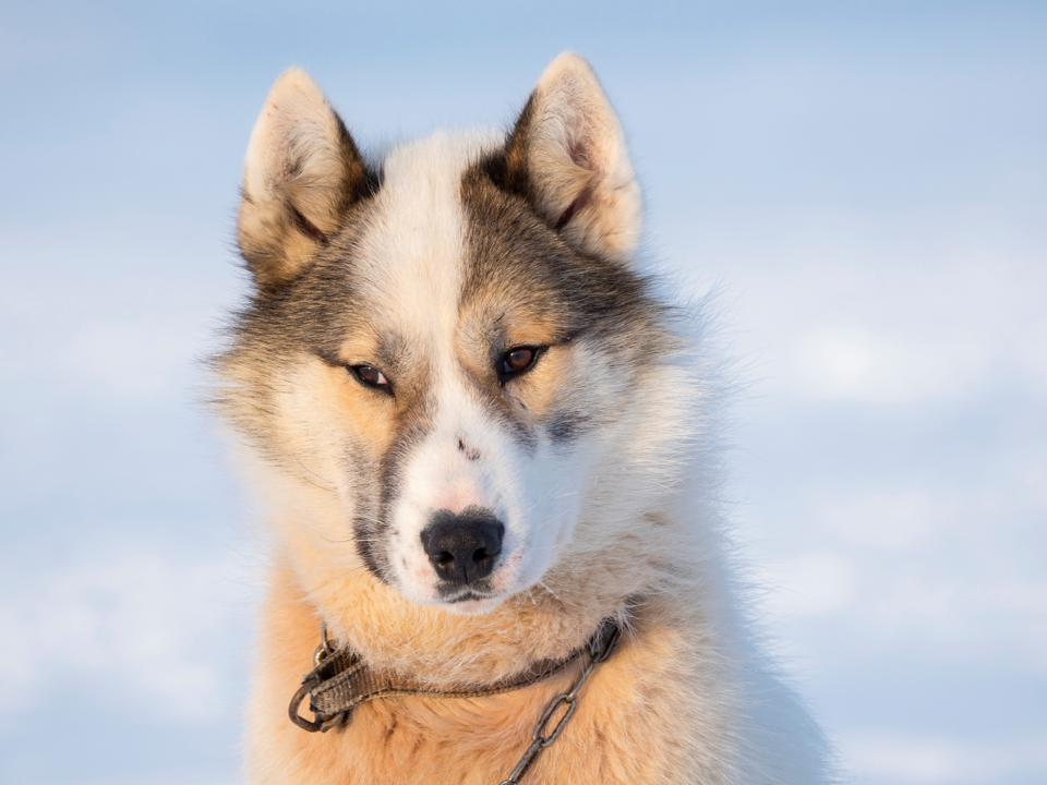 Sled dog during winter in Uummannaq