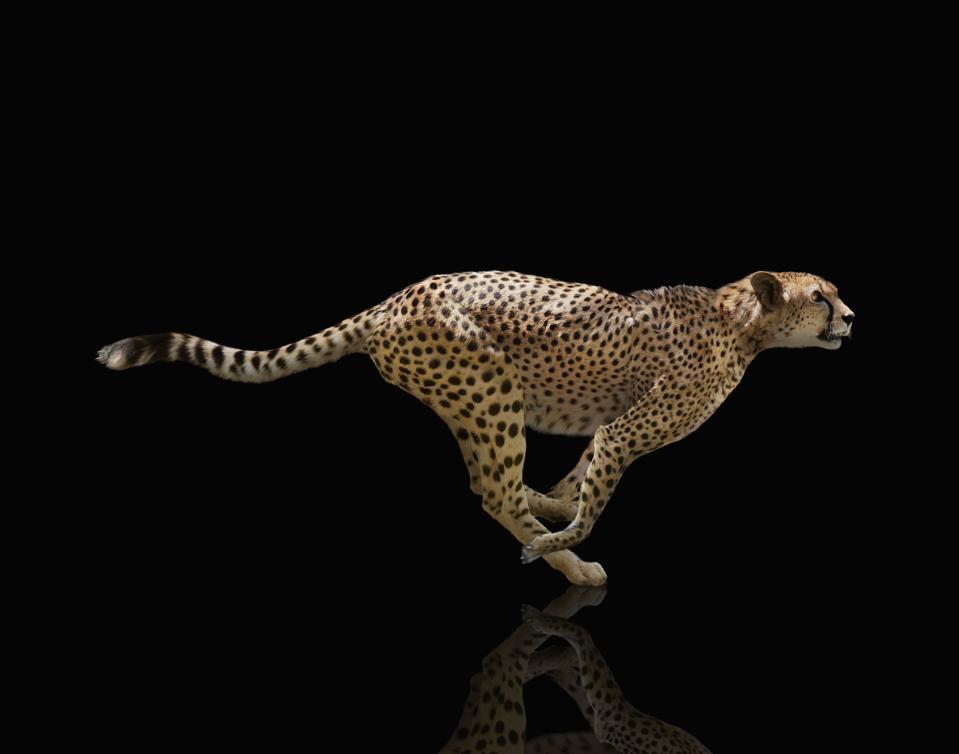 Sprinting Cheetah On Black Background