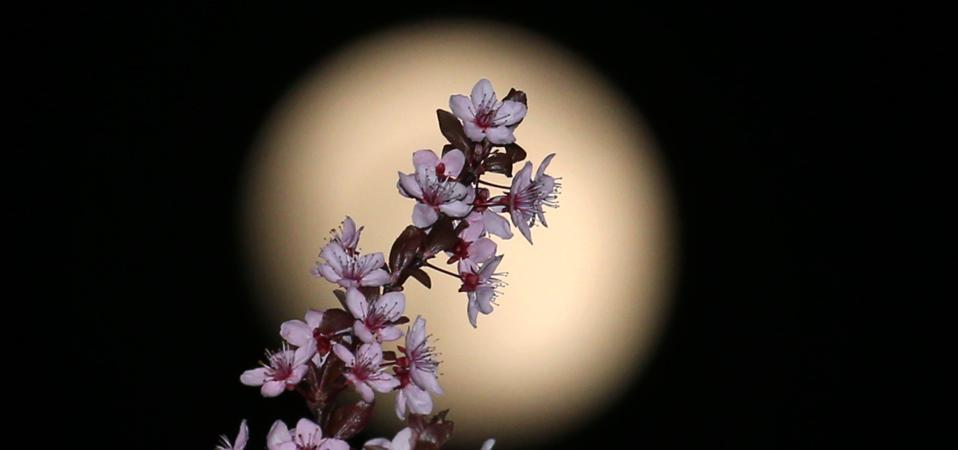 Moon behind ornamental cherry