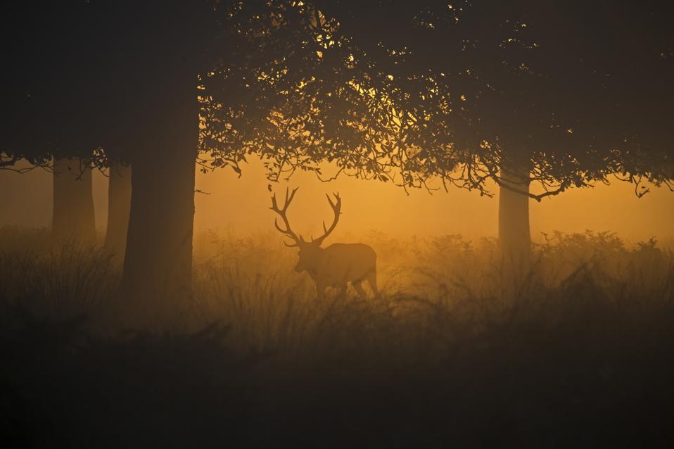 Red Deer, Cervus elaphus, stag during rut on a misty dawn, Richmond Park National Nature Reserve, London