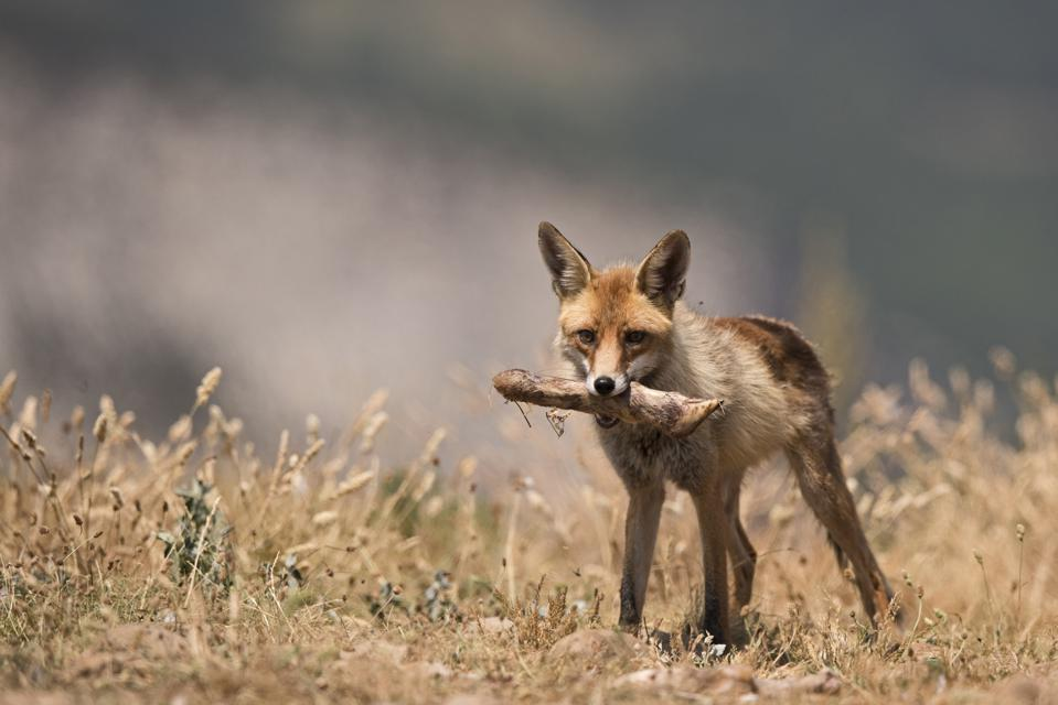 Fox stealing bones from baited Lammergeier site in Spanish Pyrenees