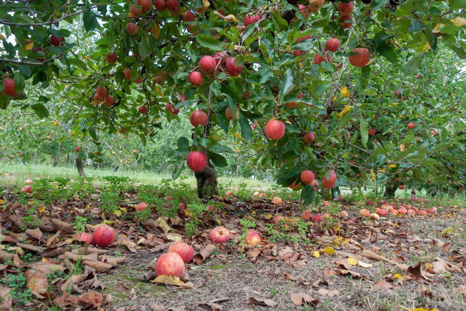 Apple orchard.