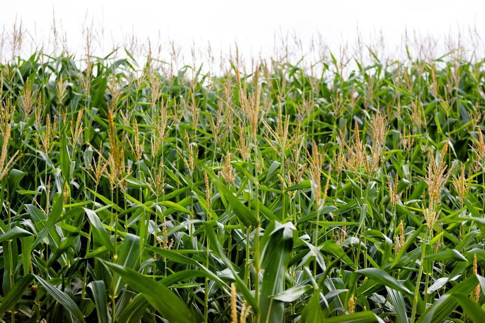 Full grown maize plants seen in a corn field.