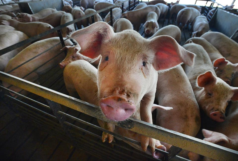 Neighbors suing over pig fumes spur right-to-farm push