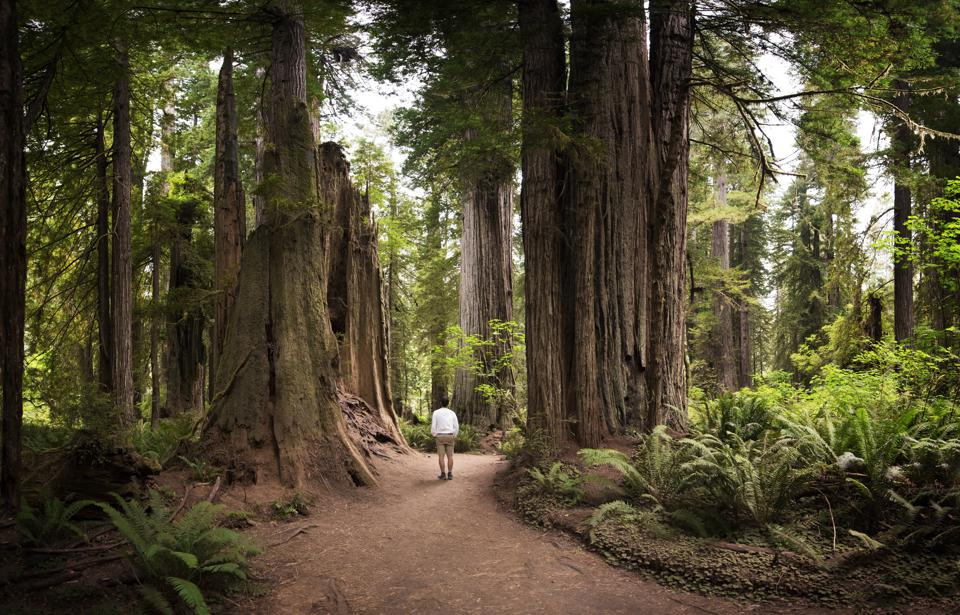 Rear View Of Man Walking in Redwoods National Park, USA.