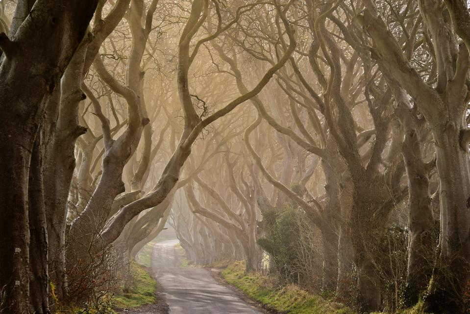 Ireland. County Antrim. Armoy. Early morning mist amidst The Dark Hedges. an avenue of beech trees dating from 1775 that have been used as a location in the HBO award winning Game of Thrones television series.