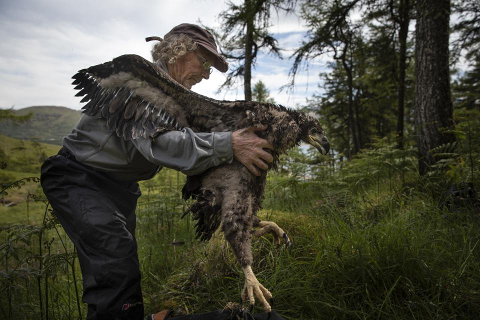 White-Tailed eagles monitored ahead of reintroduction project.