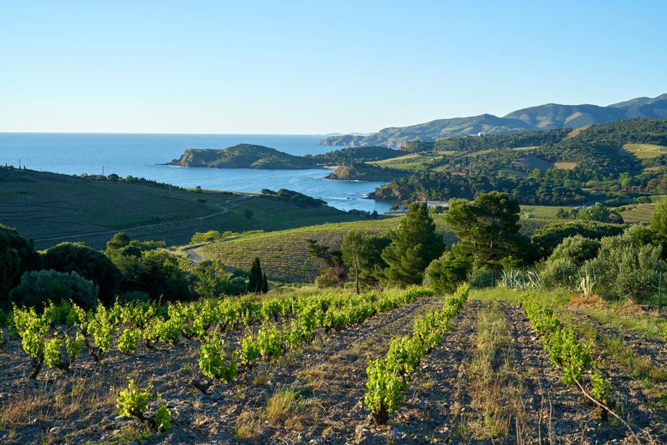 BANYULS vineyards at sunrise