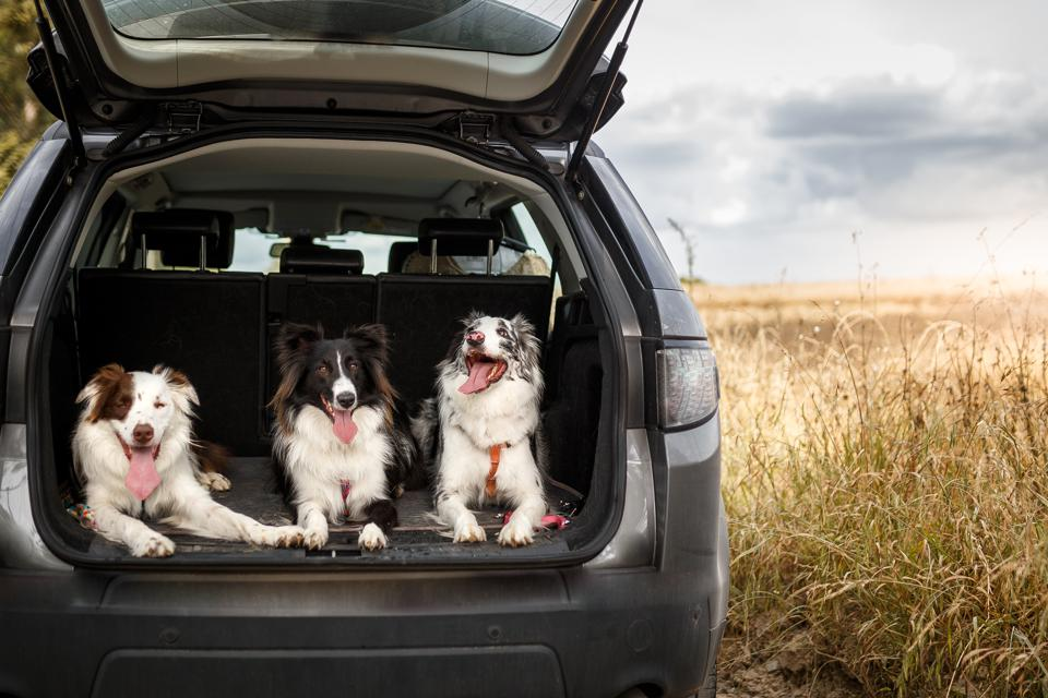 Three dogs ready to travel in the trunk of the car