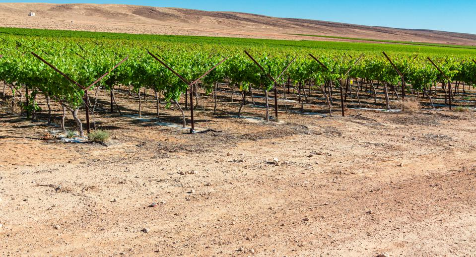 Vineyard in Negev desert