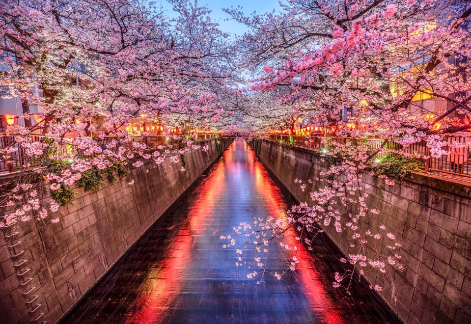 sakura cherry blossom season in meguro river at dusk, tokyo. Japan