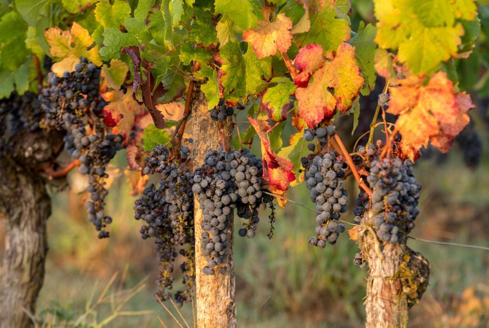 Vines in Saint Georges Saint Emilion, Gironde, France