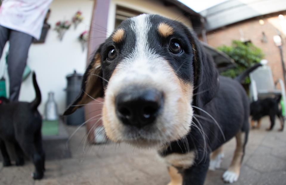 13 puppies keep dog owners on their toes in one go