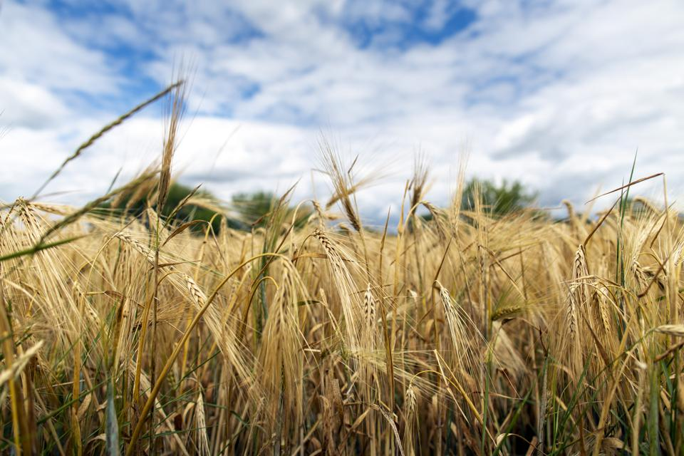 Ripe barley heads in front of a blue sky with clouds. Photo by Janine Schmitz/Photothek via Getty Images