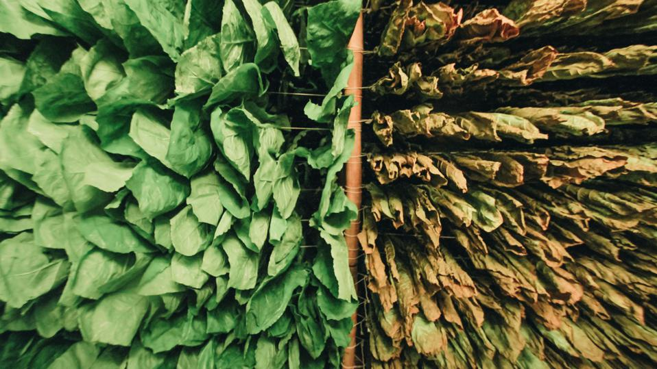 Tobacco leaf hung to dried