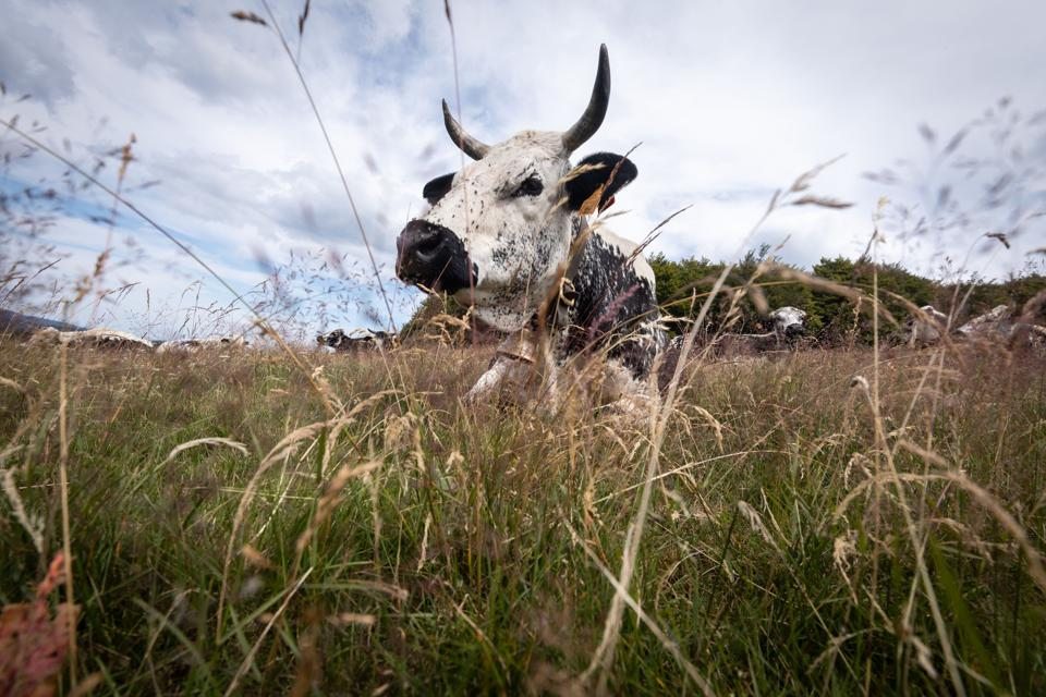 A Vosgian cow–whose milk produces Munster cheese–rests in a meadow on the ridge of the Vosges mountains, eastern France.