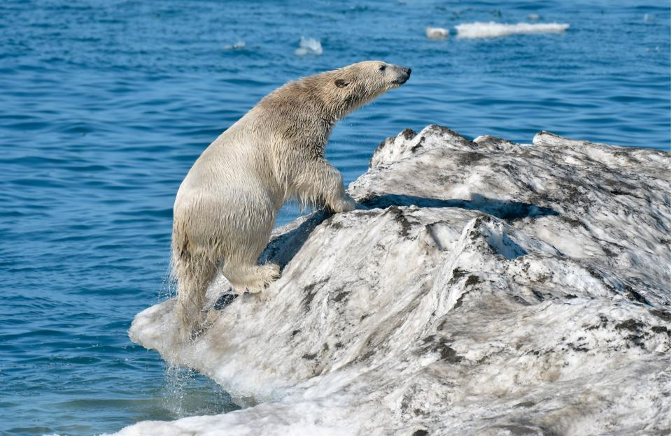 A polar bear by Wrangel Island.