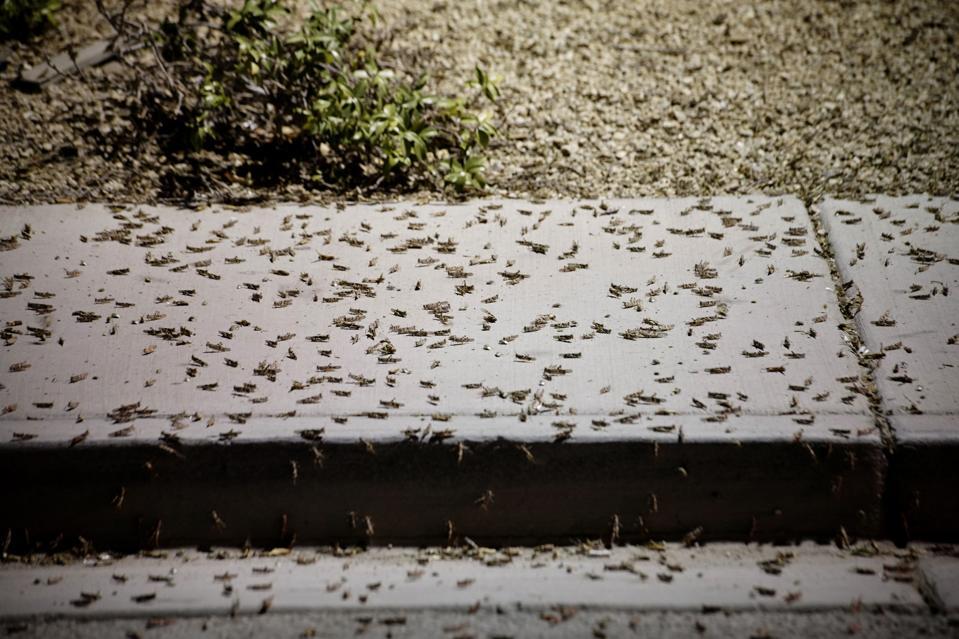 Las Vegas Invasion: Grasshopper Swarms May Last Weeks