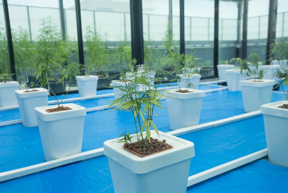 Cannabis plants used for medical purposes seen being display...