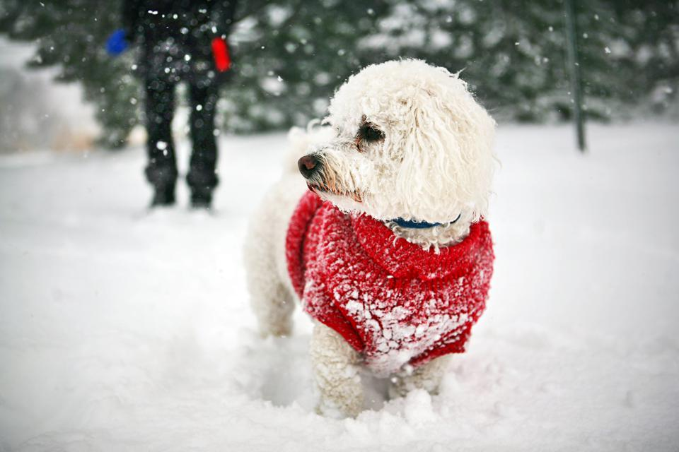 Bichon frise and owner in chicago snow storm