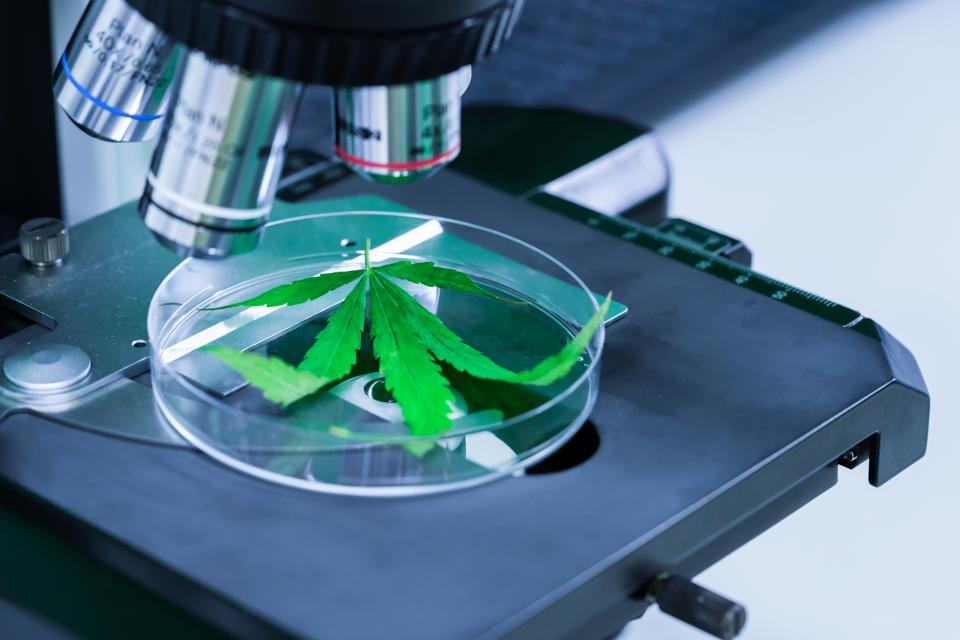 Cannabis (Marijuana) with microscope in laboratory research. Concept of Alternative medicine, Medical cannabis.