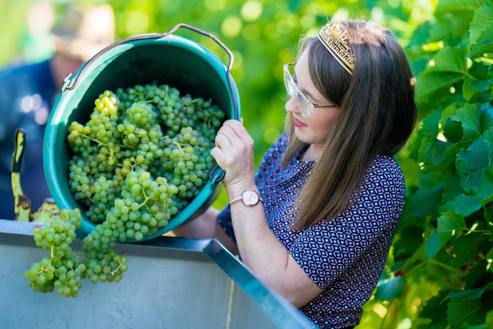 Start of the grape harvest in the Palatinate