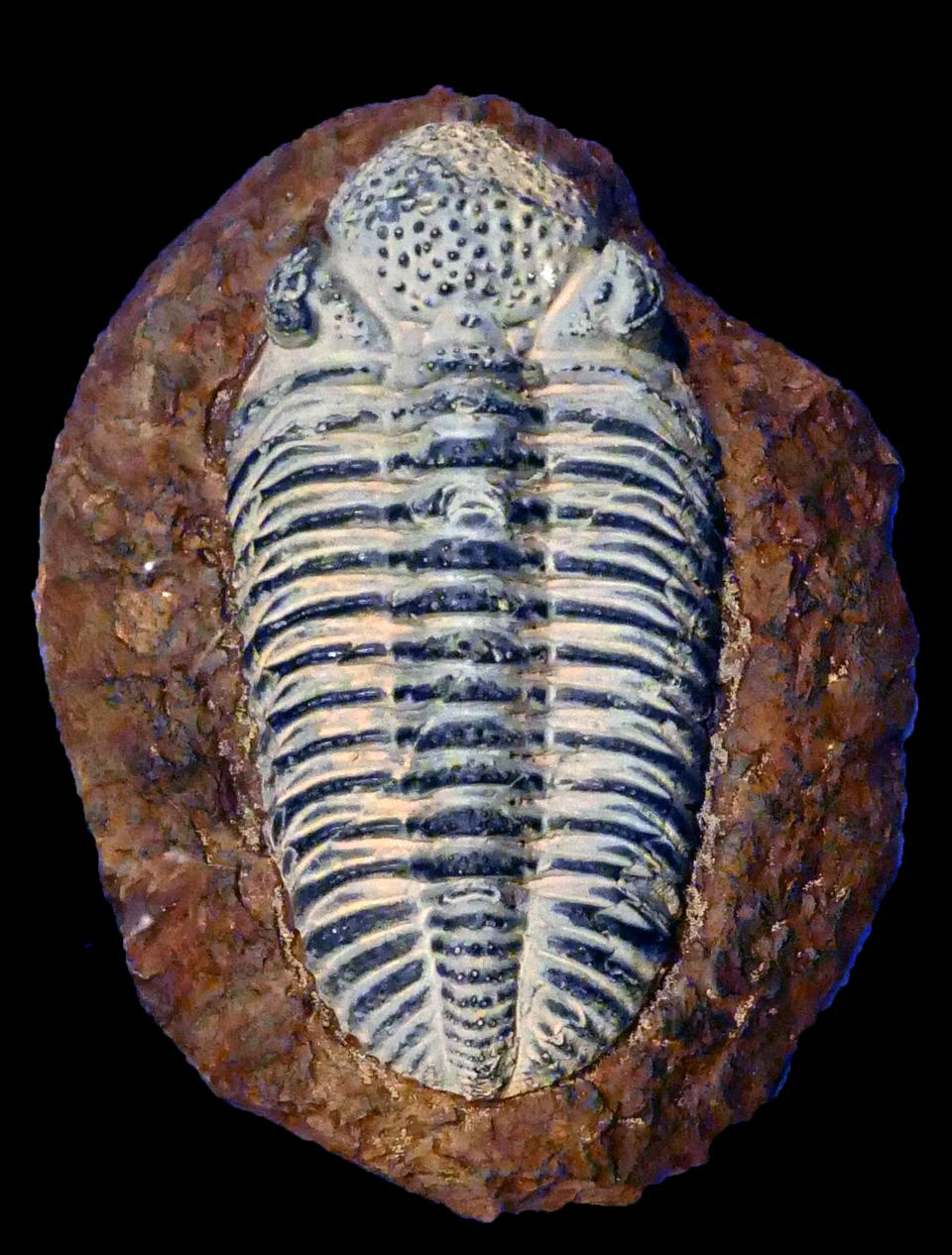 Trilobites form one of the earliest-known groups of arthropods.