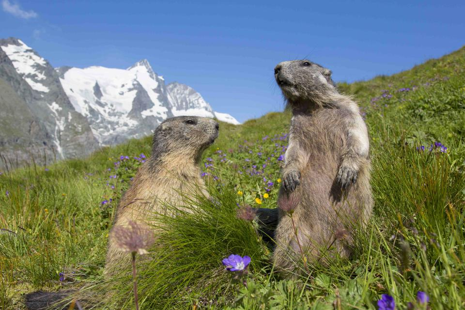 Alpine Marmots in Austria one of Europe's clean green countries