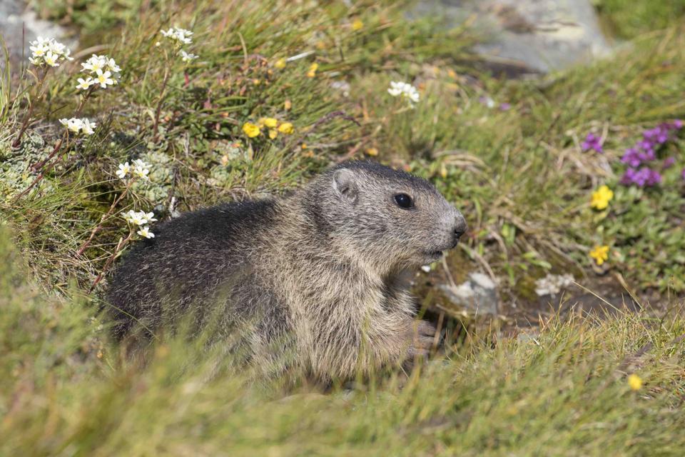 Alpine Marmot young.