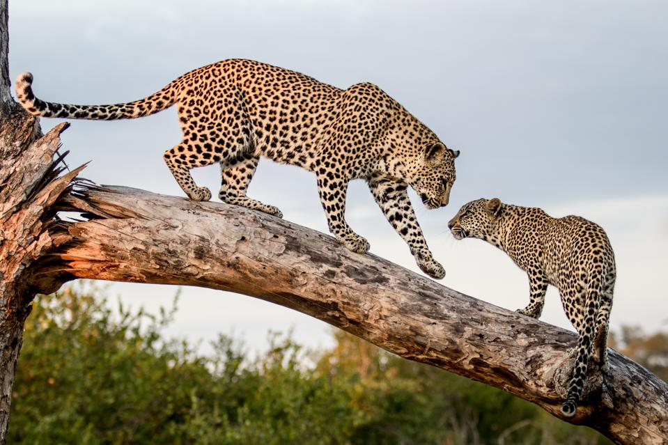 A mother leopard, Panthera pardus, walks down a dead log to its cub, paw in the air.