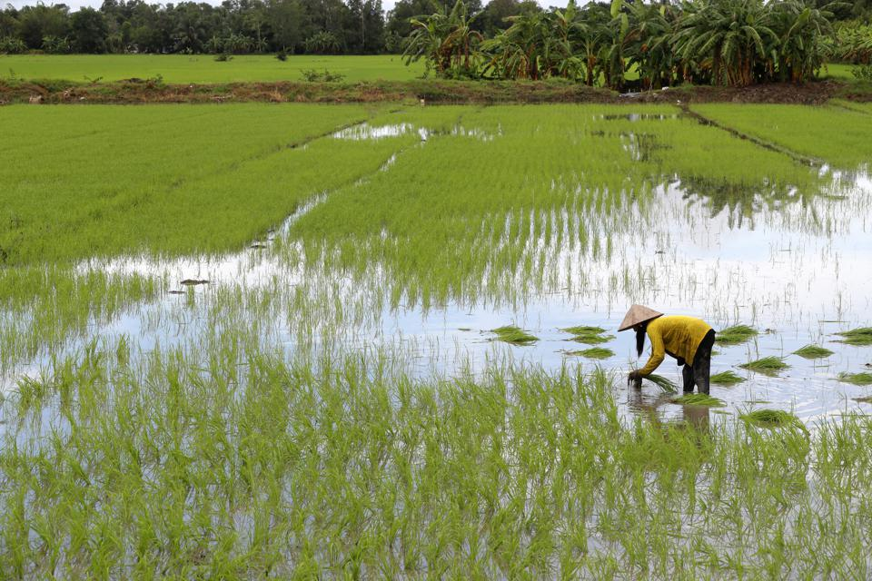 Mekong Delta.  Woman farmer working in a rice field. Transplanting rice. Can Tho. Vietnam.